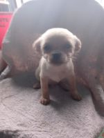 Chihuahua Puppies for sale in San Antonio, TX, USA. price: NA