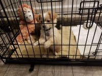 Chihuahua Puppies for sale in Pensacola, FL, USA. price: NA