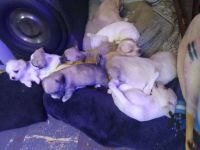 Chihuahua Puppies for sale in Groton, NY 13073, USA. price: NA