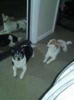 Chihuahua Puppies for sale in E 114th St, Garfield Heights, OH 44125, USA. price: NA