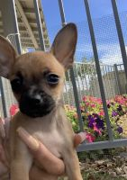 Chihuahua Puppies for sale in Goodyear, AZ, USA. price: NA