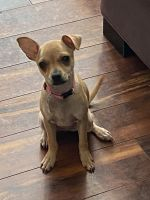 Chihuahua Puppies for sale in Altamonte Springs, FL 32701, USA. price: NA