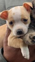 Chihuahua Puppies for sale in San Diego, CA, USA. price: NA
