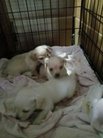 Chihuahua Puppies for sale in Wheat Ridge, CO, USA. price: NA
