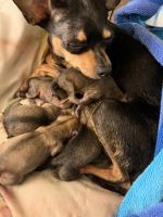 Chihuahua Puppies for sale in Greenville, NC, USA. price: NA