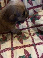 Chihuahua Puppies for sale in Walnut Cove, NC 27052, USA. price: NA