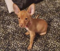 Chihuahua Puppies for sale in Covington, WA 98042, USA. price: NA
