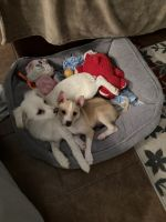Chihuahua Puppies for sale in Atlanta, GA 30301, USA. price: NA