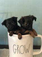 Chihuahua Puppies for sale in Cape Coral, FL, USA. price: NA