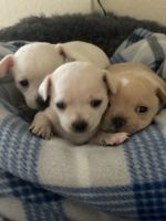 Chihuahua Puppies for sale in Phoenix, AZ, USA. price: NA