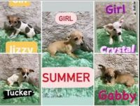 Chihuahua Puppies for sale in Carol City, FL 33056, USA. price: NA