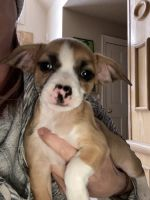 Chihuahua Puppies for sale in Northville, MI, USA. price: NA