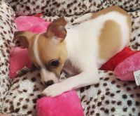 Chihuahua Puppies for sale in Norfolk, VA, USA. price: NA