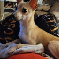 Chihuahua Puppies for sale in Columbus, OH 43229, USA. price: NA
