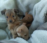 Chihuahua Puppies for sale in Santa Ana, CA 92706, USA. price: NA