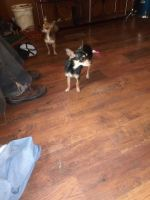 Chihuahua Puppies for sale in Prestonsburg, KY 41653, USA. price: NA