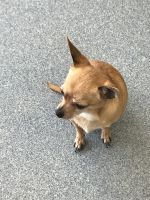 Chihuahua Puppies for sale in Quincy, MA, USA. price: NA