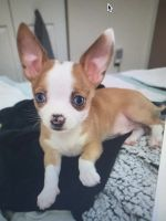Chihuahua Puppies for sale in Miami, FL, USA. price: NA