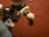 Chihuahua Puppies for sale in 3946 Forestside Dr, Columbus, GA 31907, USA. price: NA