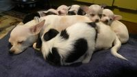 Chihuahua Puppies for sale in Lebanon, NJ 08833, USA. price: NA