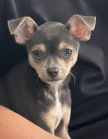 Chihuahua Puppies for sale in Woodbridge, VA 22191, USA. price: NA