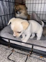 Chihuahua Puppies for sale in Tacoma, WA, USA. price: NA