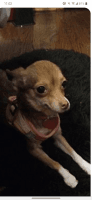 Chihuahua Puppies for sale in Milwaukee, WI, USA. price: NA