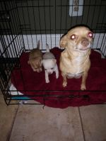 Chihuahua Puppies for sale in Austin, TX, USA. price: NA