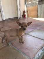 Chihuahua Puppies for sale in Laredo, TX, USA. price: NA