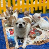 Chihuahua Puppies for sale in Charlotte, NC 28202, USA. price: NA