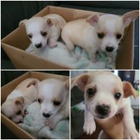 Chihuahua Puppies for sale in Brown Deer, WI, USA. price: NA