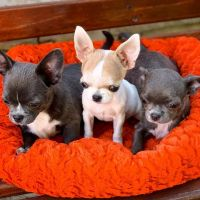 Chihuahua Puppies for sale in San Jose, CA, USA. price: NA