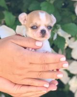 Chihuahua Puppies for sale in Buffalo, NY, USA. price: NA