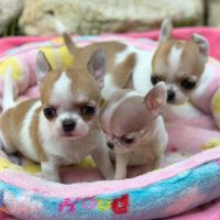 Chihuahua Puppies for sale in St. Louis, MO, USA. price: NA
