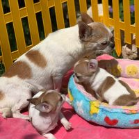 Chihuahua Puppies for sale in 33166 Popham Ln, Solon, OH 44139, USA. price: NA