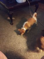 Chihuahua Puppies for sale in Rogers, AR, USA. price: NA