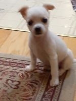 Chihuahua Puppies for sale in Oxford, OH 45056, USA. price: NA