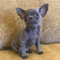 Chihuahua Puppies for sale in San Angelo, TX, USA. price: NA