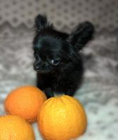 Chihuahua Puppies for sale in Sacramento, CA, USA. price: NA
