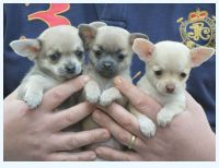 Chihuahua Puppies for sale in Peoria, IL, USA. price: NA