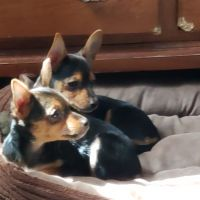 Chihuahua Puppies for sale in Bristol, PA 19007, USA. price: NA