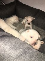 Chihuahua Puppies for sale in 5120 Raymond Dr, Fort Worth, TX 76244, USA. price: NA