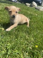 Chihuahua Puppies for sale in Pomona, CA, USA. price: NA