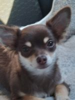 Chihuahua Puppies for sale in Hopkins, MN, USA. price: NA