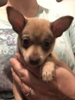 Chihuahua Puppies for sale in Binghamton, NY, USA. price: NA