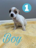 Chihuahua Puppies for sale in Tampa, FL 33625, USA. price: NA