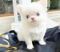 Chihuahua Puppies for sale in Vancouver, WA, USA. price: NA