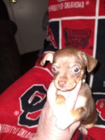 Chihuahua Puppies for sale in Oklahoma City, OK, USA. price: NA