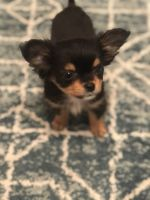 Chihuahua Puppies for sale in King, NC, USA. price: NA