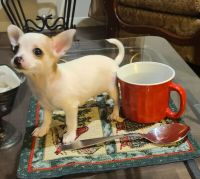 Chihuahua Puppies for sale in Dallas, TX, USA. price: NA